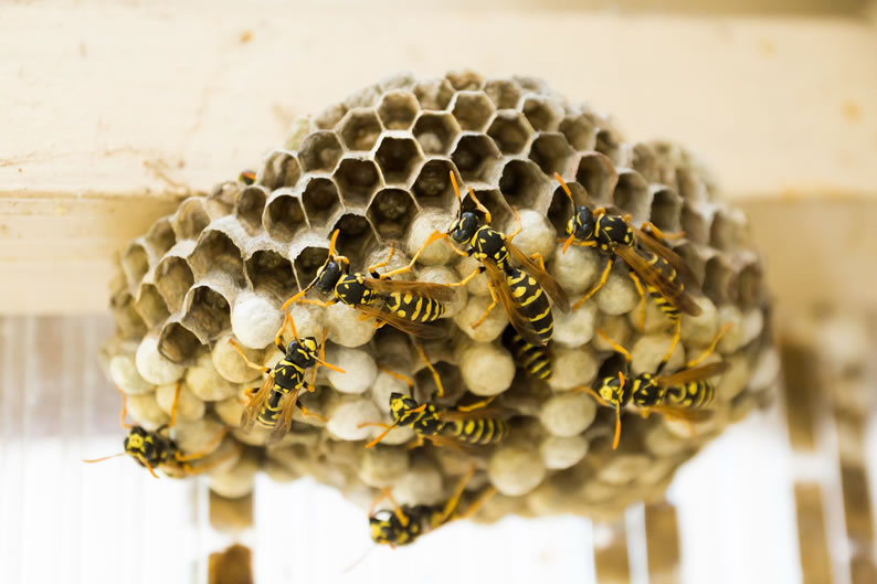 Wasp Control Poynton - Wasp nest treatment 24/7, same day service, covering Poynton, Stockport and cheshire, fixed price no hidden extras!